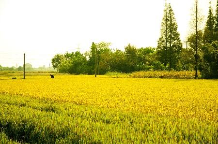 经济台 资讯    推荐指数:★★★★★   房山区长沟镇种植水稻面积800